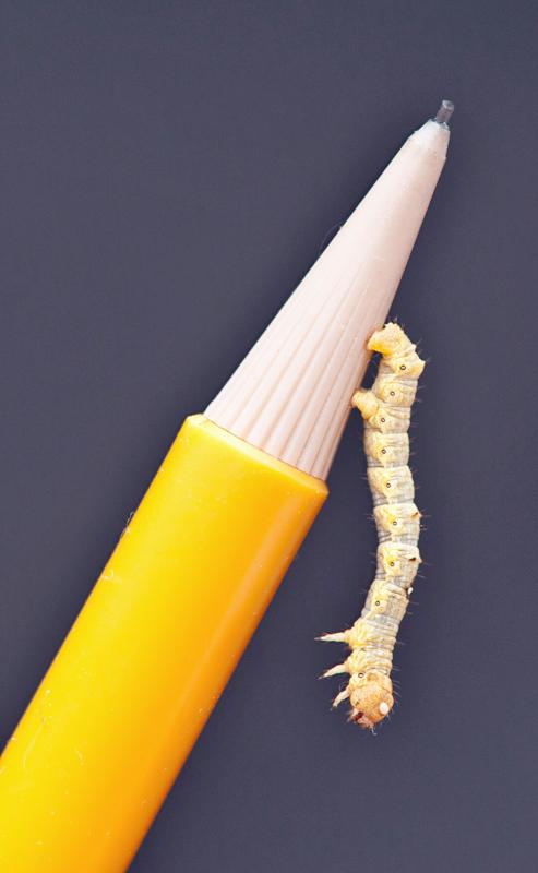 Caterpilla on Pencil