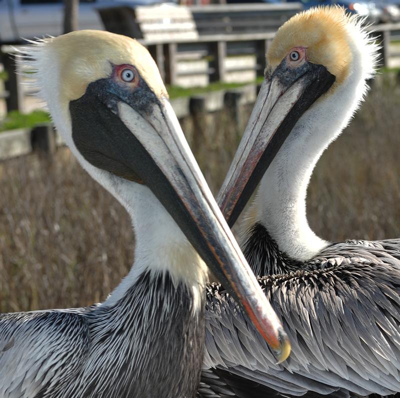 Florida - Amelia Island - Pelican Crossing