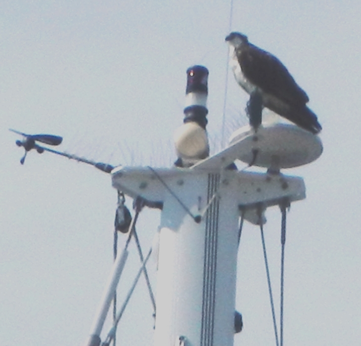 A rather bad picture of an osprey