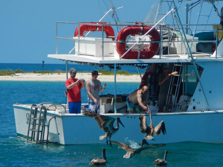 Hand feeding pelicans
