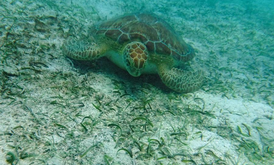 Turtles in Maho Bay St John