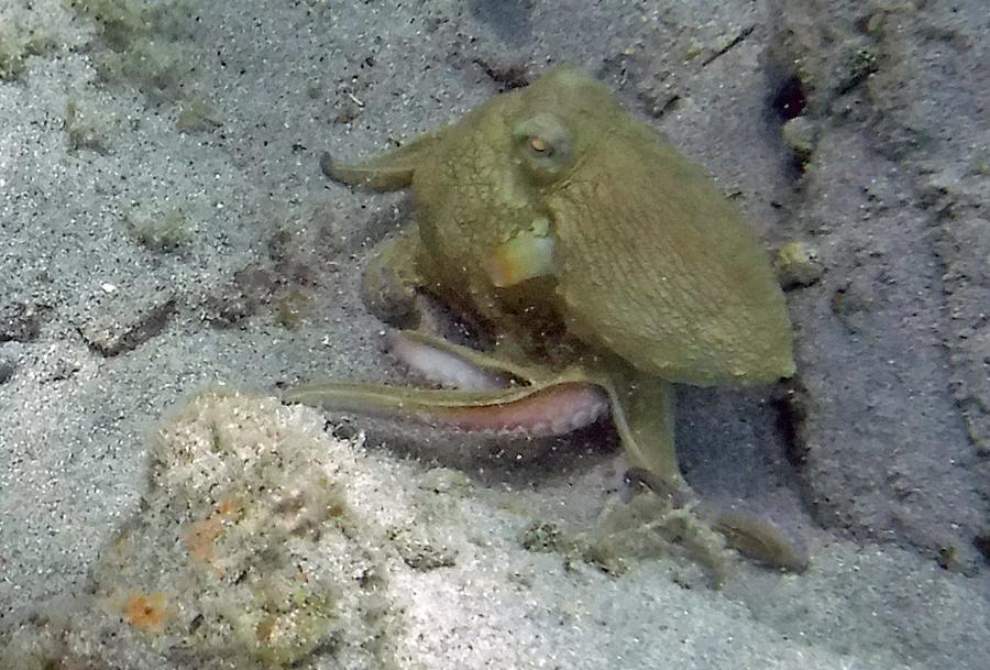 Octopus Maho Bay St John