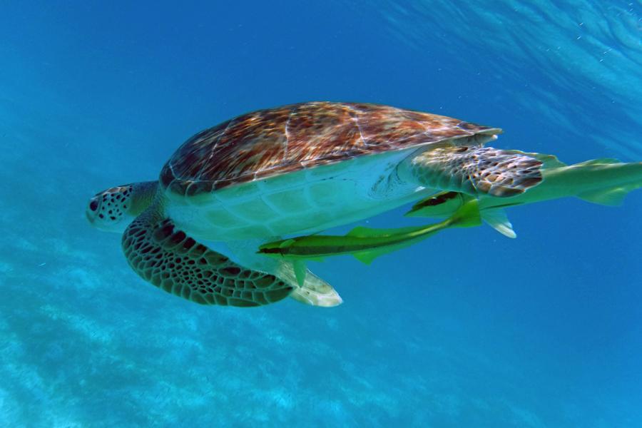 Swimming with turtles in Waterlemon Bay St John