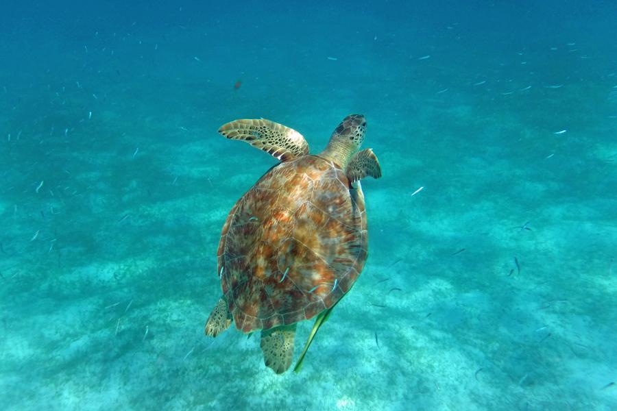 Turtles waterlemon Bay St john