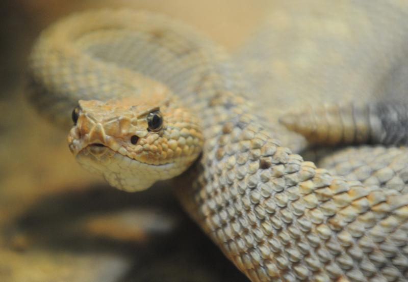 Aruba Rattle Snake