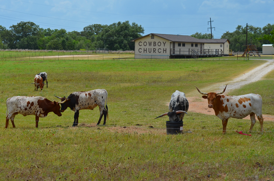 Longhorn cattle graze in the pasture of a cowboy church