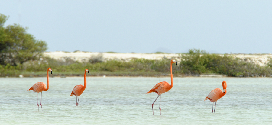 Bonaire Flamingos - Seeing flamingo was like seeing our first wild monkey or parrot. So cool!