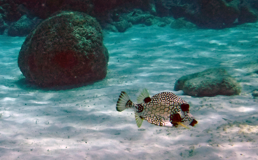 A Smooth Trunkfish passes by