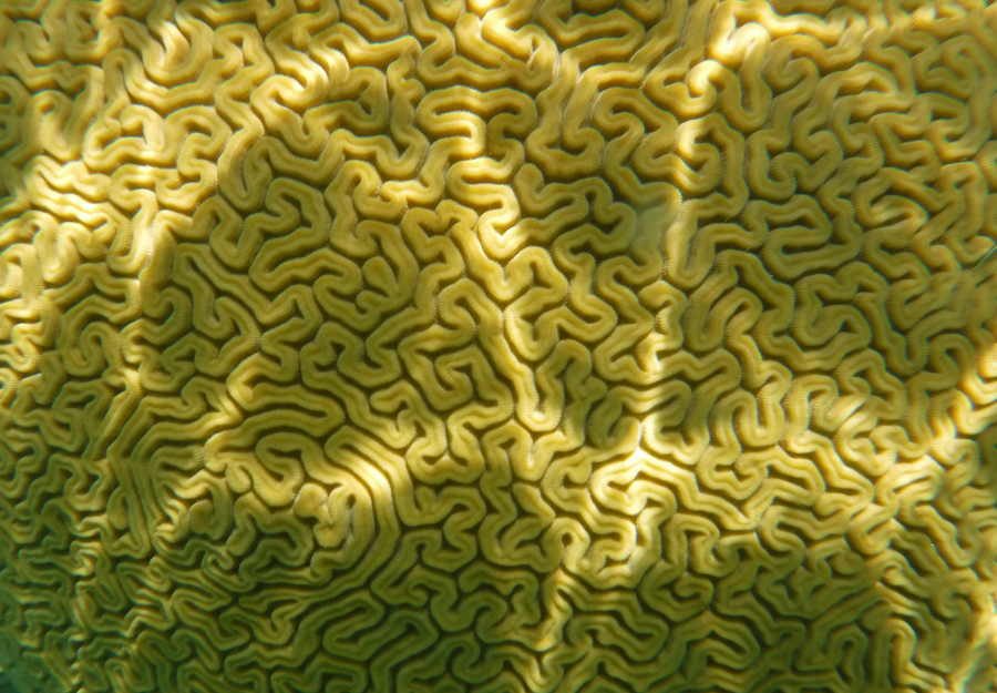 Sunlight dances on brain coral giving the illusion of electrical pulses