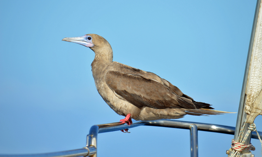 Red foot booby